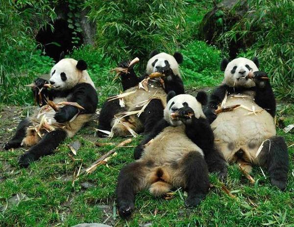 食べまくるパンダ達の面白画像