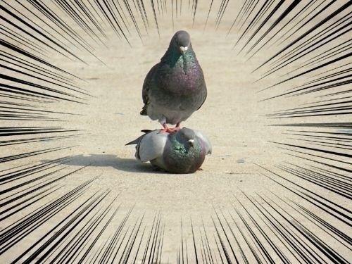 鳩の組体操の面白画像