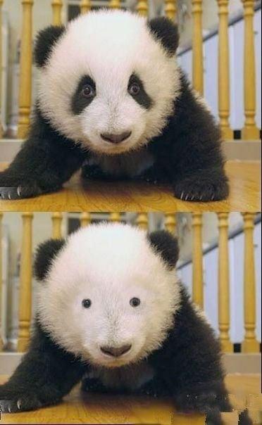 パンダのメイク落としの面白画像