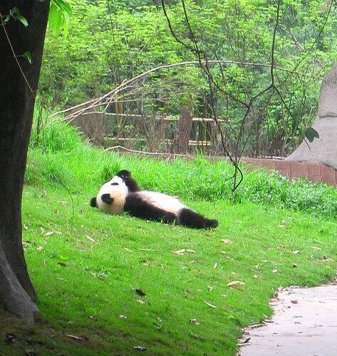 仰向けに寝るパンダの面白画像