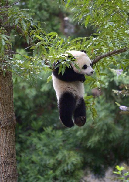 パンダの面白画像