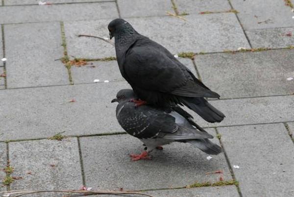 鳩の面白画像