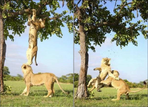ライオン転落の面白画像