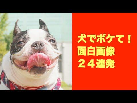 動画で面白画像!【犬でボケて】面白画像24連発の面白画像