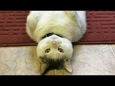 動画で面白画像!【吹いたら負け】ジワジワ来るww ネコのおもしろ画像集② おもしろ可愛い猫のツイートまとめ 疲れた時にどうぞ!【癒されて笑える!!】の面白画像