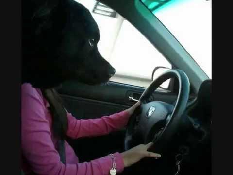 動画で面白画像!【面白画像】そんなバカな!犬が運転してる。 A dog runs. I see such a person.の面白画像