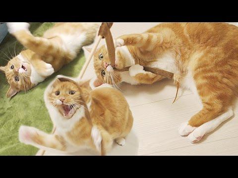動画で面白画像!funny cat playing with toy vigorously / 【猫 おもしろ】猫じゃらし遊びで大暴れな猫の面白画像