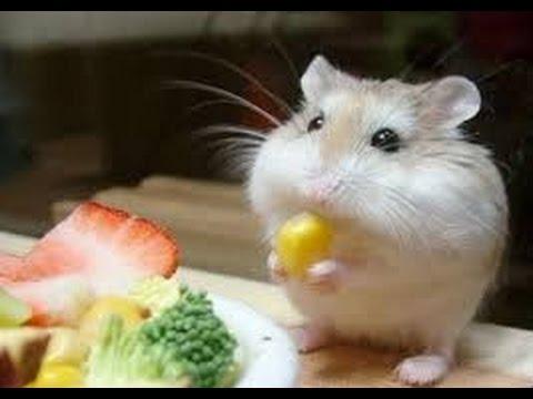 動画で面白画像!最高におもしろハムスターのハプニング, 失敗 超かわいい赤ちゃん画像集【絶対笑顔になる】【動物系】【hamster】の面白画像