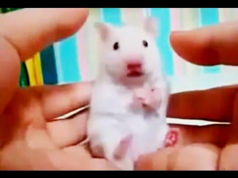 動画で面白画像!おもしろ可愛いハムスター動画集! Funny Videos Hamster Compilation 2014の面白画像