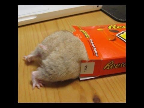 動画で面白画像!【動物】ハムスターの面白画像集 Vo.1 Slideshow of Funny hamsterの面白画像